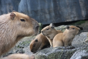 伊豆シャボテン公園の「カピバラ」に4頭の赤ちゃん誕生 12/31まで名前募集