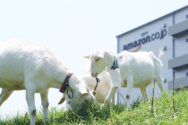 """Amazon物流センターに""""ヤギの除草隊""""、新入りが加わり2015年も出動"""